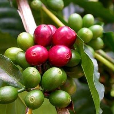cafeaua  verde pentru slabit