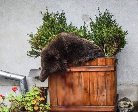 Un urs a fost impuscat miercuri in Sibiu dupa ce autoritatile au fost alertate privind prezenta animalului aproape de centrul orasului