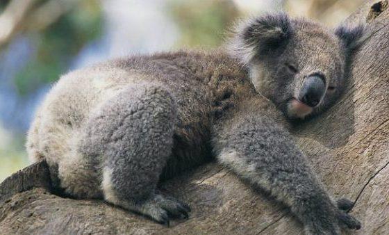 Animalul ce are amprente digitale aproape identice cu cele umane
